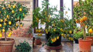 Cum se planteaza lamaiul pitic si alte citrice?