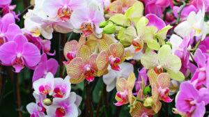 Cum alegem Orhideea potrivită?  Cum îngrijim Orhideea?