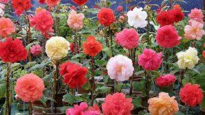 Bicarbonat în pământul florilor din ghiveci, un truc foarte util