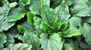 Patlagina – mai mult decat o planta pentru tuse! Benefica  pentru Gât, Stomac, Inima