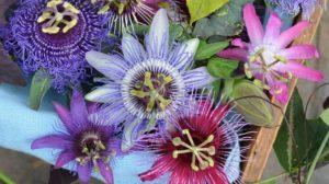 Floarea Patimilor lui Iisus. LEAC pentru Insomnie, anxietate si alte ZECI DE AFECȚIUNI