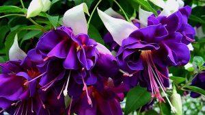 Totul despre minunata Fuchsia (cerceluş). Cum se  inmulteşte şi îngrijeste CERCELUŞUL?
