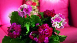 Primula este o floare pentru grădină și mai puțin pentru interiorul casei