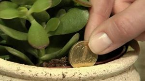 Această plantă atrage banii ca un magnet. Se numeşte Copacul Banului! Iată cum arată
