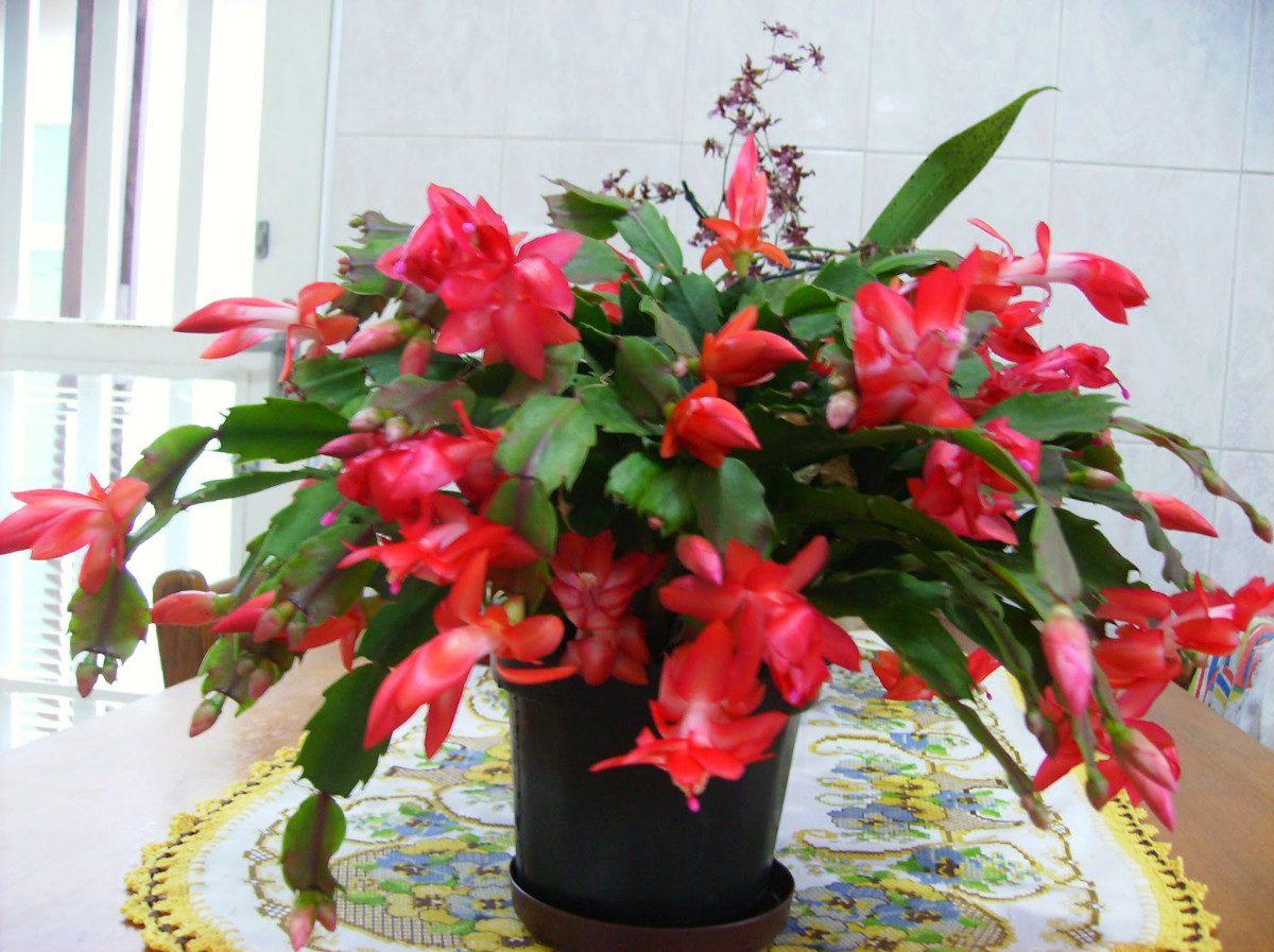 Cactusul de Crăciun, planta de apartament care se potrivește perfect craciunițelor