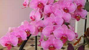 Cum să menţii orhideea înflorită. Când e bine îngrijită şi ţinută în apartament, florile se pot menţine chiar trei luni
