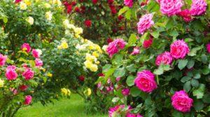 Îngrijirea trandafirilor pe timp de vară