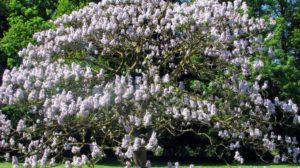 Arborele prințesei, cultura exotică de 30.000 de euro la hectar care i-a asigurat unui bistrițean succesul în afaceri