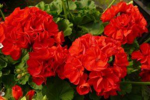 Mușcata Roșie,  floarea de leac din fereastră