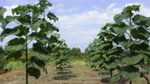 Adevărul despre afacerea cu Paulownia în România. Planteaza acest copac daca ai pamant pe care nu-l folosesti. Venitul de 30.000 de euro la hectar. Creste intr-un an cat altii in zece!