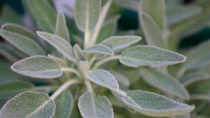 Planta care aduce nemurirea. Salvia si proprietățile sale miraculoase, o planta cunoscuta din antichitate si care poate trata orice boala