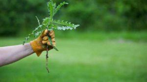 Cum scăpăm de buruienile din grădină?  Ieftin si simplu si foarte eficient !