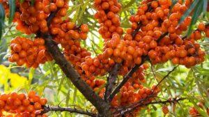 Cătina, ginsengul românesc– miracol pentru sănătate. Trateaza prostata, previne cancerul de stomac si de colon
