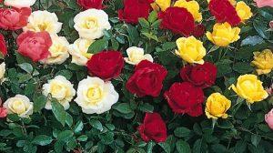 Tunderea corecta a trandafirilor pentru a avea o inflorire abundenta si mai spectaculoasa