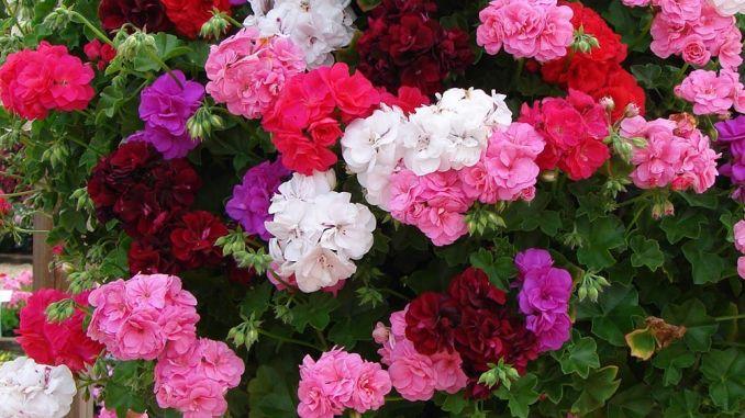 Sfaturi pentru îngrijirea mușcatelor, secrete care să pot ajuta să aveți plante sănătoase și mai ales pline de flori