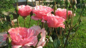 Cum se înmulțesc butașii de trandafir cu ajutorul hârtiei de ziar. Metoda Burrito