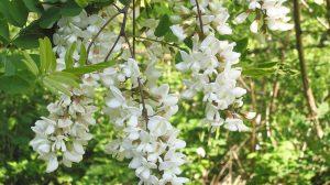 Salcâmul și beneficiile sale pentru sanatate ta. Florile de salcâm combat bolile sistemului nervos şi digestiv si afectiunile genitale