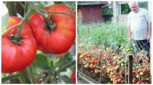 Secretul rusesc pentru producții mai mari la roșii
