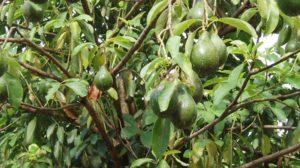Frunzele acestui pom fructifer curăţă şi detoxifică foarte eficient rinichii!