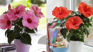 Ingrijirea trandafirului japonez: trucuri pentru o inflorire bogata