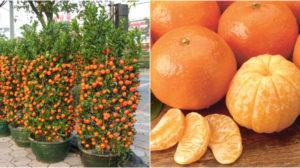 Iti plac mandarinele si parfumul lor ? Afla cum le poti creste intr-un ghiveci !