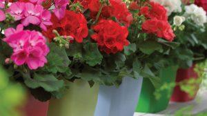 Păstrarea mușcatelor peste iarnă – Sfaturi de la gradinari profesionisti, sfaturi esențiale pentru cei care iubesc aceste flori
