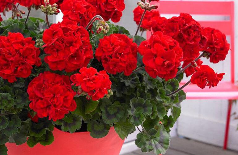Cum sa ai muscate cu flori bogate. Trucuri care iti vor colora gradina sau balconul. Vecinii vor fi invidiosi