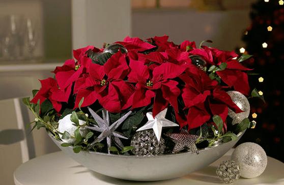 Crăciunița, Floarea Nopții Sfinte! De ce e bine să ai această floare în casă de Crăciun
