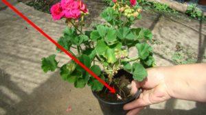Iată ingredientul secret care se pune la rădăcina florilor ca să nu se ofilească! Îl ai în casă și îl arunci la gunoi!