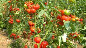 Vrem roșii bio, dar oare ce îngrășăminte să folosim? Trucuri pentru a scăpa roșiile de dăunători!