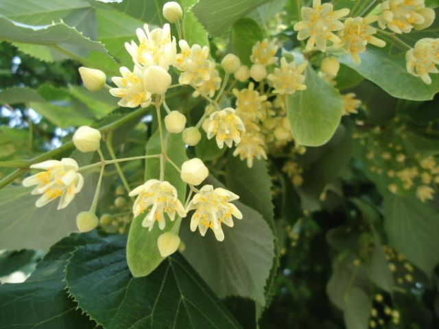 Azi, de Rusalii, puneți la poartă și în case frunze de tei sau de nuc!