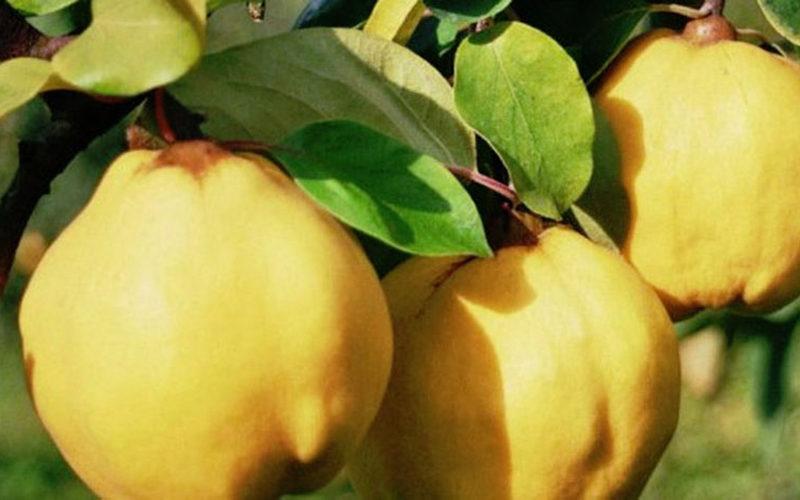 Păstraţi frunzele de Gutui peste iarnă – Au puternice efecte terapeutice