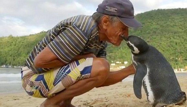 Un pinguin înoată anual 8.000 de kilometri să își vadă salvatorul