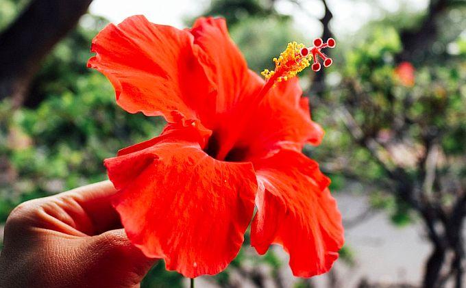 Ceaiul de Hibiscus reduce grăsimea abdominală și din ficat, tensiunea și colesterolul (studii)