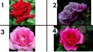 Alege o trandafir si afla ce scrie despre tine pe petalele lui