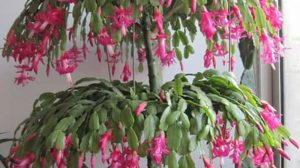 Cum se face înrădăcinarea cu succes a butașilor de cactus de Crăciun (Schlumbergera)!
