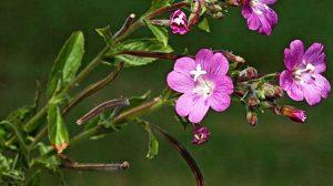O plantă banală pe care mulți o ignoră… Are o acţiune terapeutică remarcabilă!