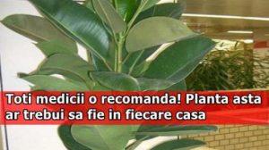 De ce ne recomandă medicii să avem ficus în casă! Cum ne poate ajuta această plantă?