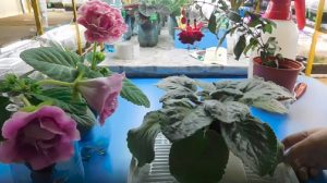 Cum faceți ca violetele scuturate de flori să înflorească din nou!