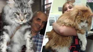 Maine Coon: 20 de fotografii ale celor mai mari și prietenoase pisici domestice din lume