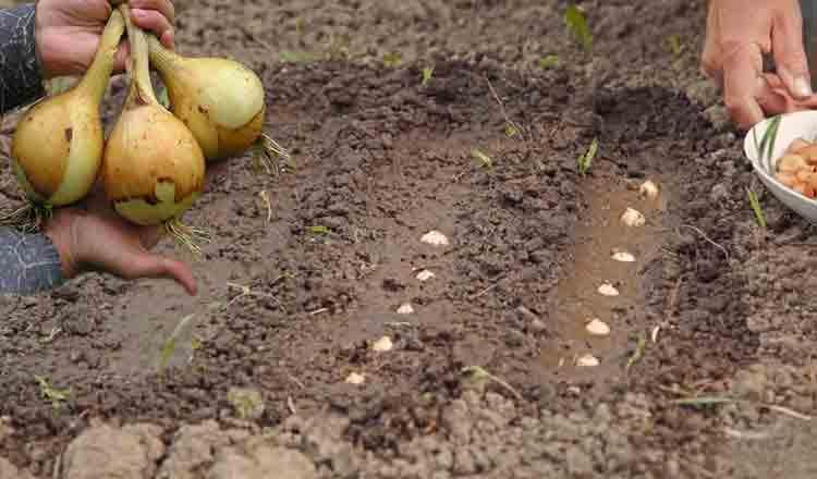 Cum să ai o recoltă de ceapă pentru tot anul! Așa nu mai cumperi din piață!