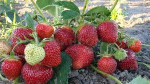Secretele cultivării căpșunilor pentru începători!