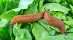 7 metode naturale pentru eliminarea melcilor și limacșilor din grădină!