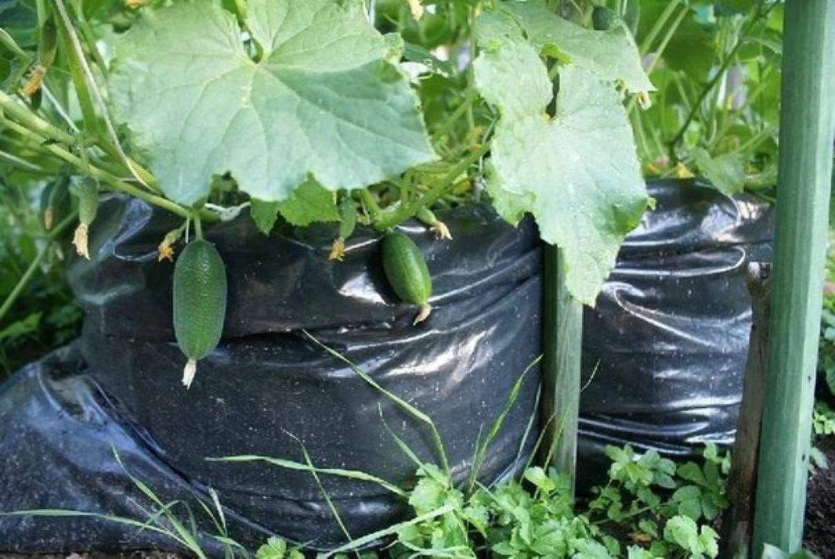 Castraveții din sac — 1000 castraveți recoltați de pe 1 m²!