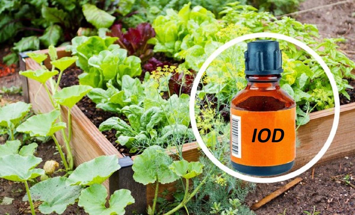 Cum se folosește iodul ca îngrășământ pentru plante? Instrucțiuni detaliate de utilizare a acestui compus în horticultură!