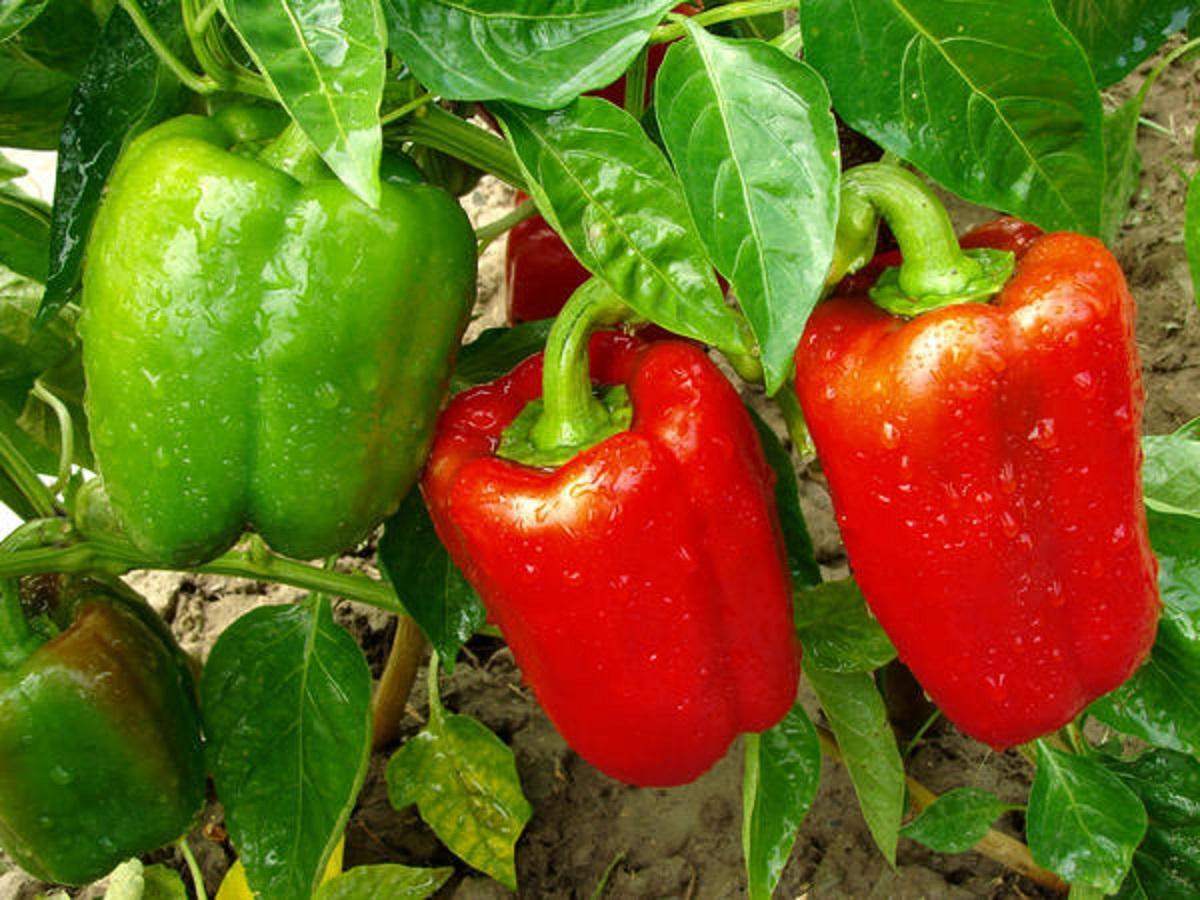 Cum puteți obține recoltă bogată de ardei gras respectând niște principii simple!