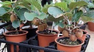 Iată cum puteți crește un fruct kiwi gustos pe propriul pervaz!