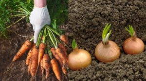 Aceste legume nu pot trăi una fără alta, doar alături! Această vecinătate vă va aduce…