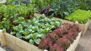 Sarea, pudra de muștar și Coca-Cola/Pepsi pot fi utile și în grădină!