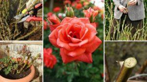 Tăierea trandafirilor primăvara – sfaturi pentru florarii începători!